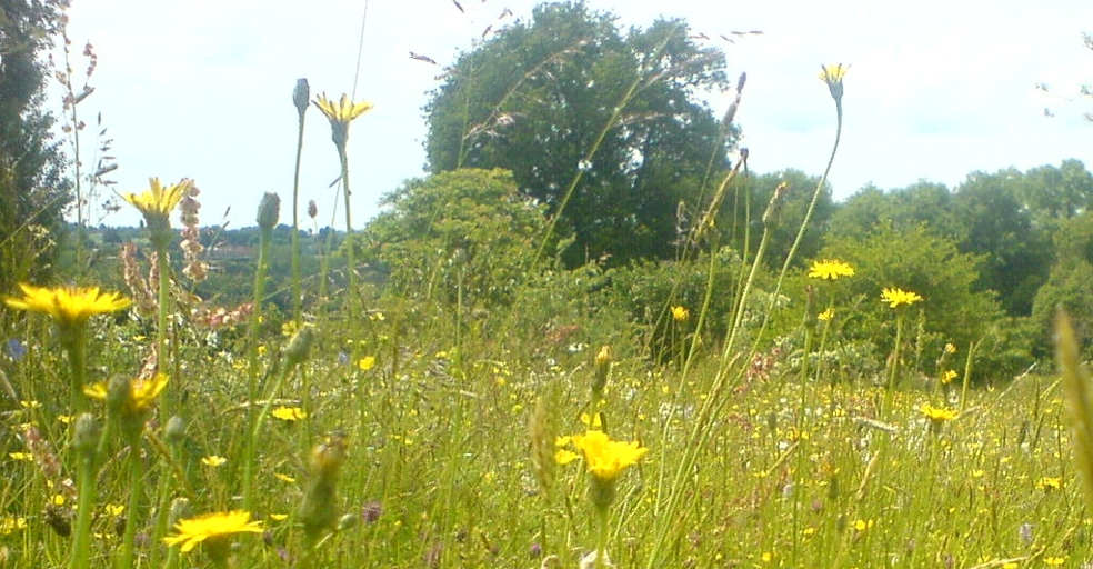 Habitat Surveys and Reports, view of Wildflower meadow