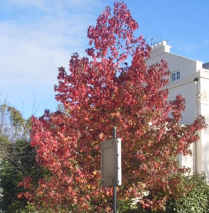 How to select exciting trees for great interest in urban settings; specimen trees with all year round colour
