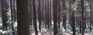 Woodland Management, Conifer woodland