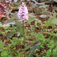 How to look after Common spotted orchid Dactylorhiza fuchsii